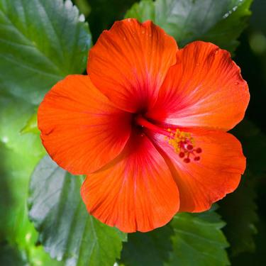 Hibiscus Virgin Islands