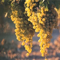 Grape (Vineyard Type)